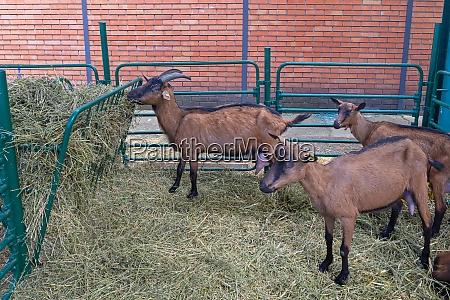 goats farm