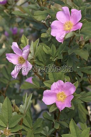 close up image of virginia rose