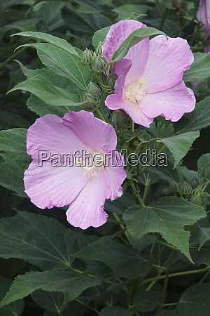 close up image of rose mallow