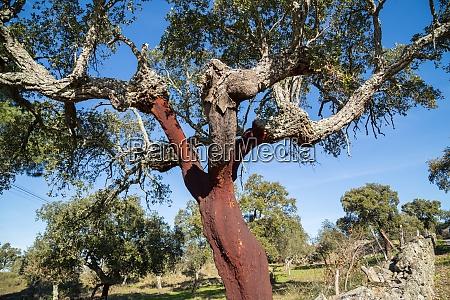 portuguese cork oak