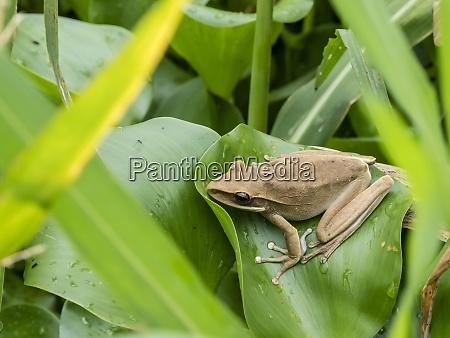 an adult rocket treefrog hyla lanciformis