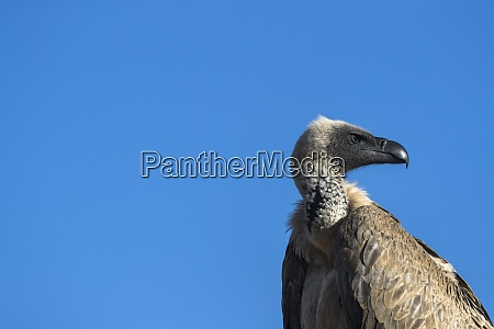 cape vulture gyps coprotheres zimanga private