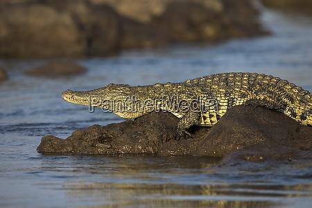 nile crocodile crocodylus niloticus chobe river