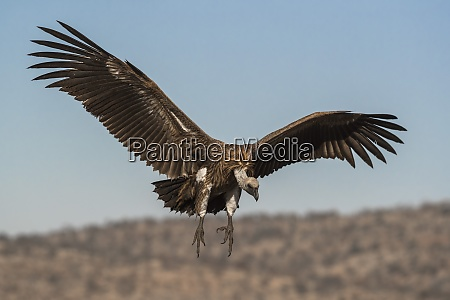 whitebacked vulture gyps africanus zimanga private