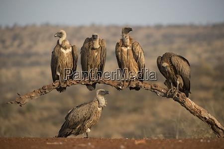 whitebacked vultures gyps africanus zimanga private