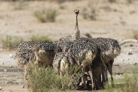 ostrich struthio camelus chicks kgalagadi transfrontier