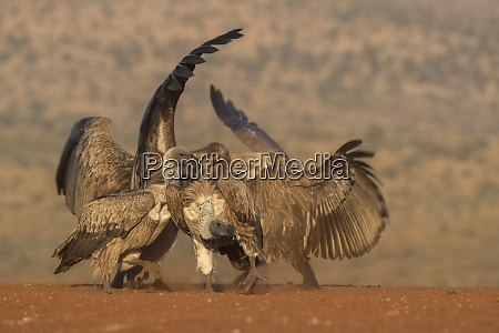 whitebacked vulture gyps africanus fighting over