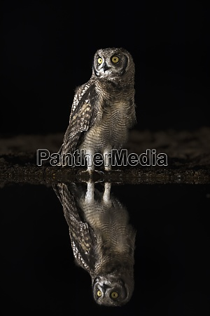 spotted eagle owl bubo africanus at