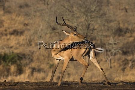 impala aepyceros melampus zimanga game reserve