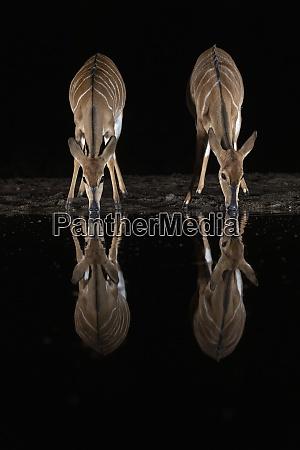 nyala tragelaphus angasii at water at