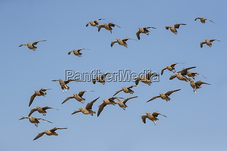 burchells sandgrouse pterocles burchelli in flight
