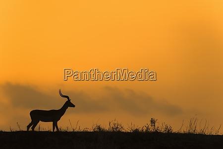 impala aepyceros melampus at dusk zimanga