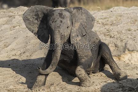 african elephant loxodonta africana young rubbing