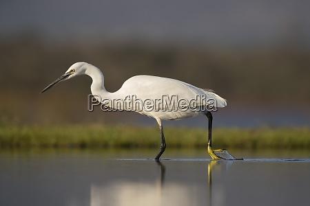 little egret egretta garzetta zimanga private
