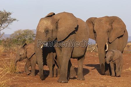 african elephant loxodonta africana zimanga game