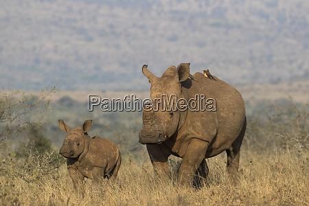 white rhino ceratotherium simum with calf