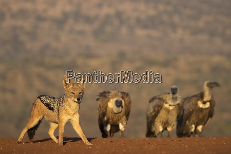 blackbacked jackal canis mesomelas zimanga private