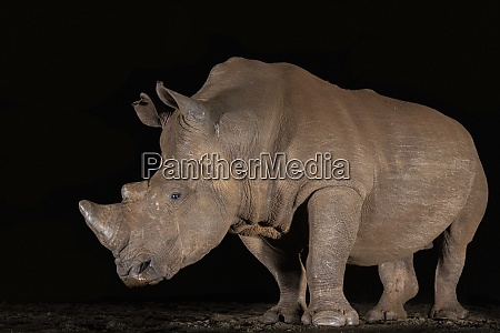 white rhino ceratotherium simum at night