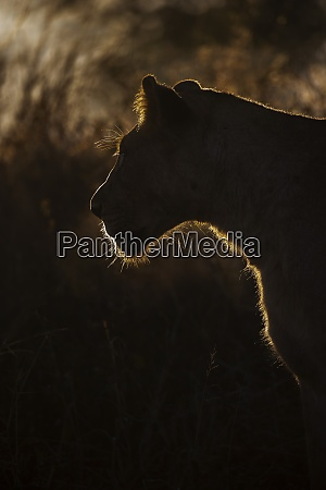 lioness panthera leo zimanga private game