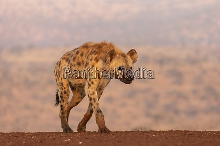 spotted hyena crocuta crocuta zimanga private