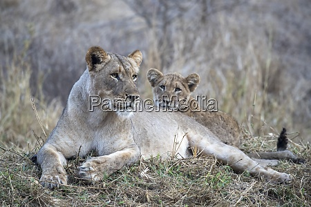 lioness panthera leo with cub zimanga