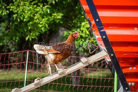 chicken ladder into the chicken coop