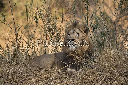 lion panthera leo zimanga private game