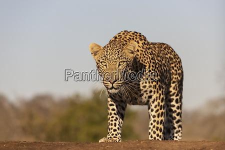 leopard panthera pardus male zimanga private