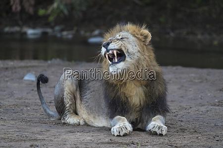 lion panthera leo yawning zimanga private