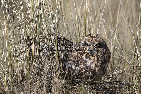 short eared owl asio flammeus captive