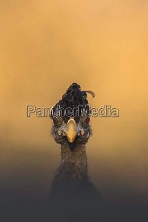 crested guineafowl guttera pucherani zimanga game
