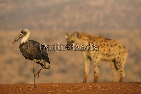 woolly necked stork ciconia episcopus zimanga