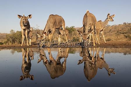 greater kudu tragelaphus strepsiceros at water