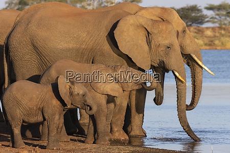 african elephants loxodonta africana drinking zimanga
