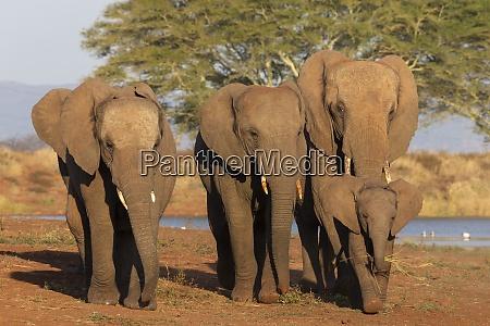 african elephants loxodonta africana zimanga game