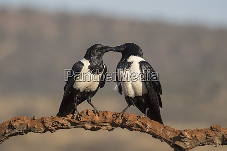 pied crows corvus albus zimanga private