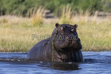 hippo hippopotamus amphibius chobe national park