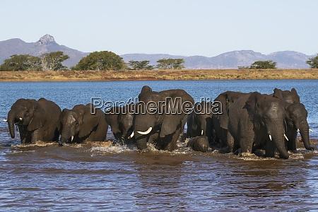 african elephants loxodonta africana in water