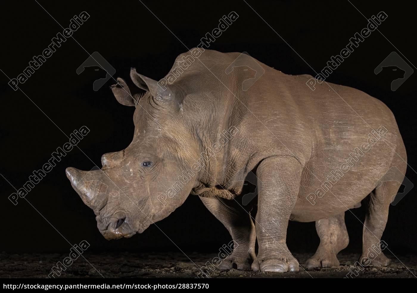white, rhino, (ceratotherium, simum), at, night, - 28837570