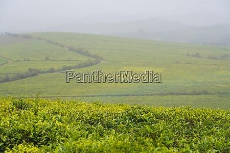 sahambavy tea plantation fianarantsoa province ihorombe