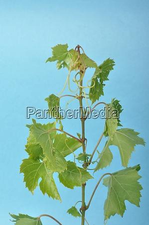 vine leaves on a blue background