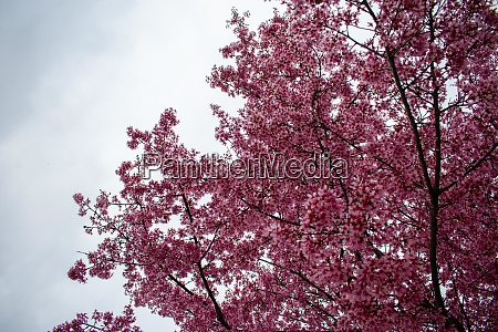 a pink cherry blossom tree on