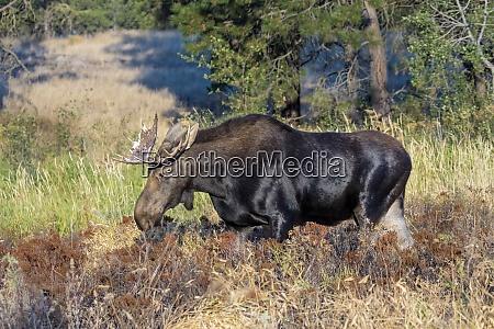 bull moose grazing in refuge