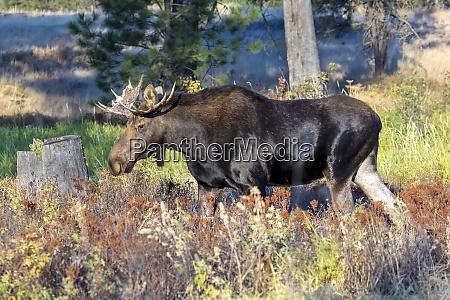 bull moose walking in refuge