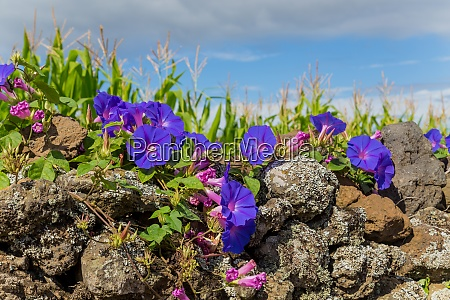 violet flowers in azores