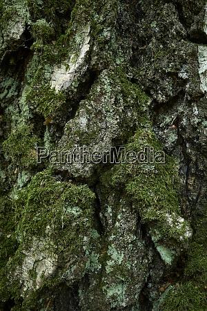 aged birch tree bark texture moss