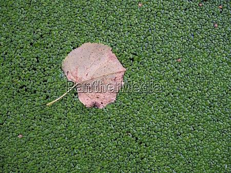 linden leaf duckweed autumn leaf