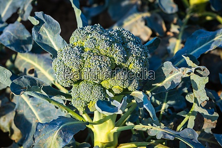 agriculture production of broccoli