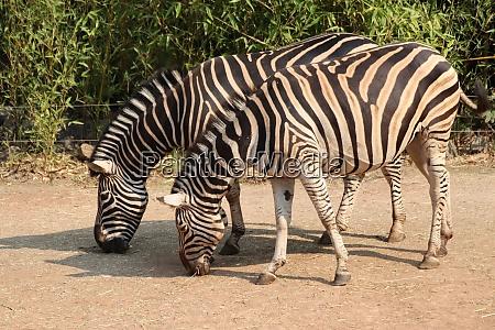 two chapman zebras