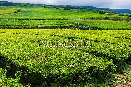 tea factory cha gorreana